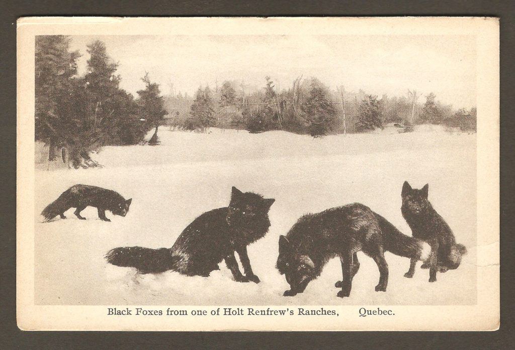 Une carte postale montrant des renards noirs, dans une renardière appartenant à la compagnie Holt Renfrew, quelque part au Québec.