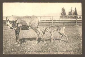 Femelle caribou et son veau, dans un enclos au zoo Holt Renfrew, sur une carte postale de la Montreal Import Co.