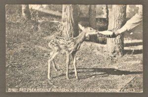 Bébé cerf de Virginie, nourri à l'aide d'une bouteille de lait, au zoo Holt Renfrew. Carte postale de la Montreal Import Co.