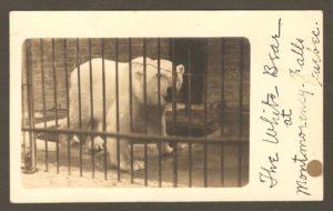 Une carte postale de type «photo véritable», datant des années 1905-1910, et où on voit un ours polaire dans sa cage, au zoo Holt Renfrew, sur le site de la chute Montmorency.