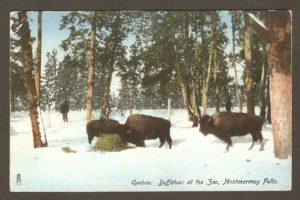 Une carte postale, vers 1910, qui montre des bisons dans un enclos boisé du zoo.