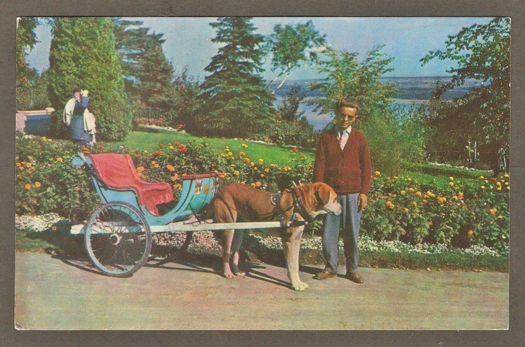 Carte postale des années 1960 montrant une voiturette tirée par un chien avec son conducteur. On y aperçoit le fleuve Saint-Laurent en arrière-plan.
