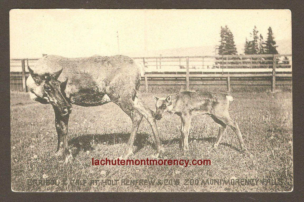 Une femelle caribou et son veau, dans un enclos au zoo Holt Renfrew, sur une carte postale de la Montreal Import Co. (no 94).