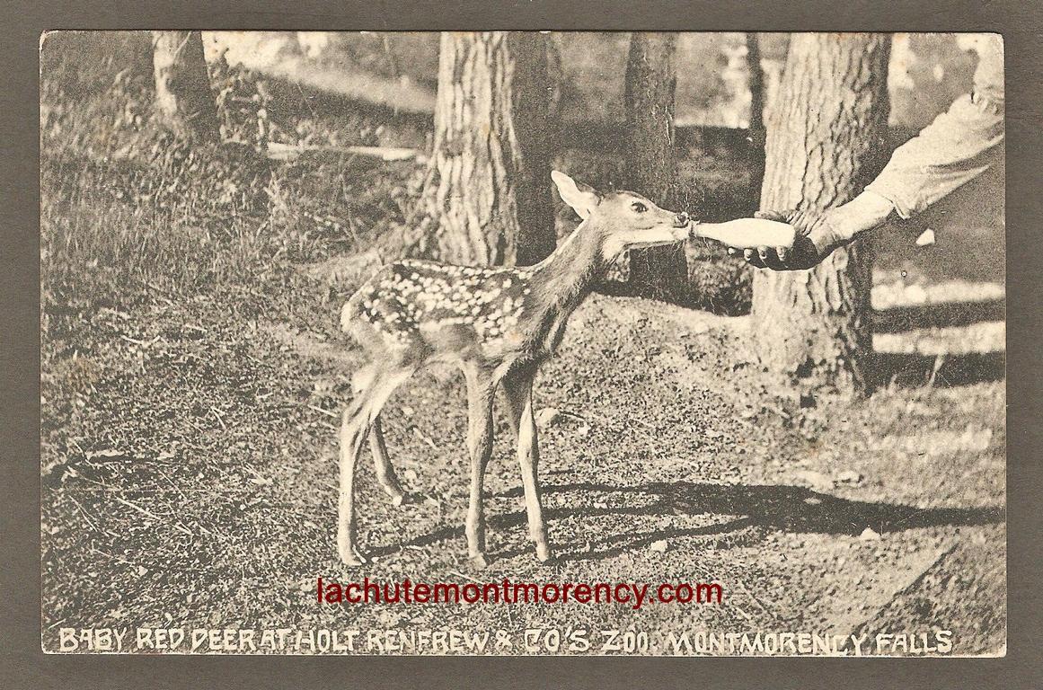 Bébé cerf de Virginie, nourri à l'aide d'un biberon, au zoo Holt Renfrew. Il s'agit d'une carte postale de la Montreal Import Co. (no 88).