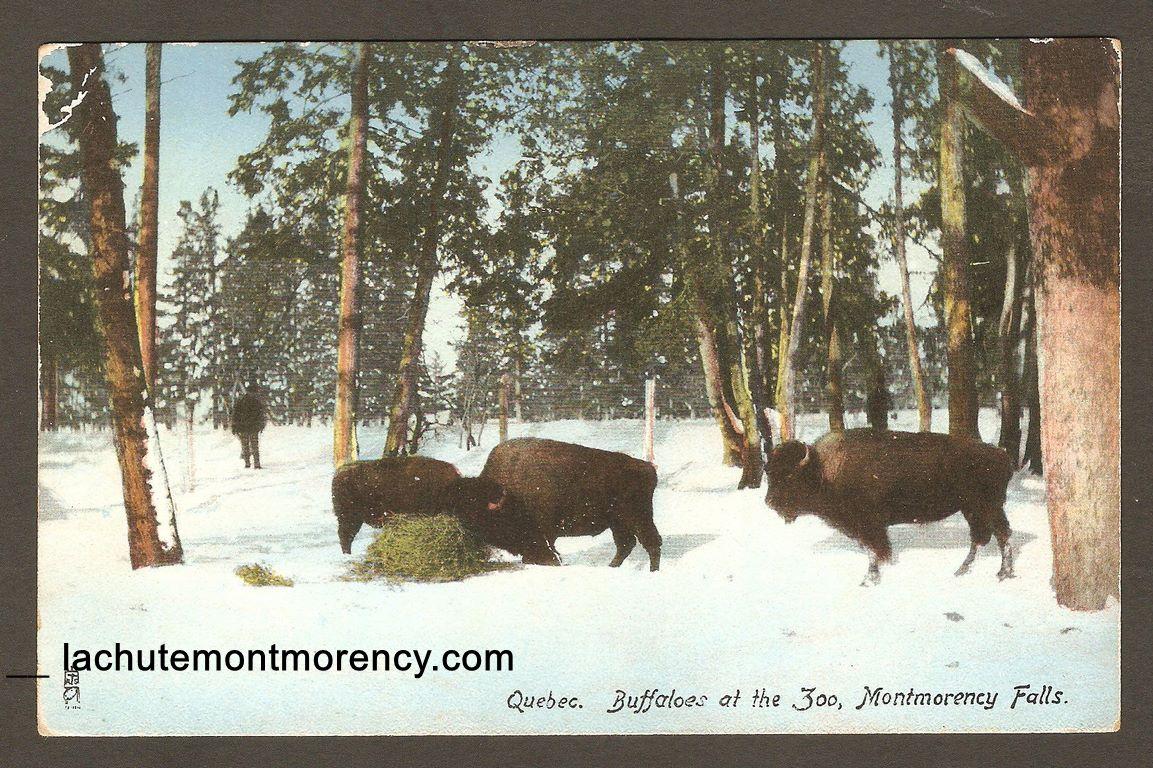 Une carte postale qui montre des bisons dans un enclos boisé du zoo Holt Renfrew, vers 1910.